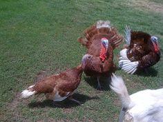 Love these turkeys...