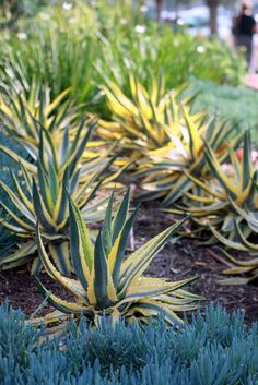 Image result for agave cornelius