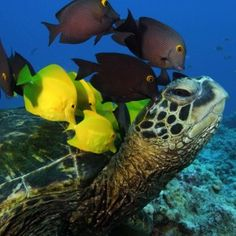 I learned about this- the fish scratch the sea turtles back.