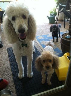look at that poodle face (standard poodle) :)