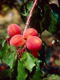 Learn how to take care of your peach tree! http://www.gardenguides.com/127917-care-peach-tree-make-big-peaches.html #food #gardening