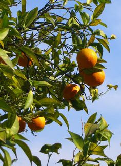 Chi vuole avere la frutta deve arrampicarsi sull'albero - Thomas Fuller-
