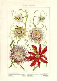 Botanical Print Passion Flowers Antique illustration Lithograph Bookplate - Great to Frame Vintage Prints, Antique Prints, Antique Art, Antique Illustration, Plant Illustration, Botanical Illustration, Botanical Drawings, Botanical Prints, Illustration Botanique