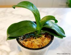 Repotting a Phalaenopsis Orchid Orchid Roots, Orchid Leaves, Orchid Flowers, Phalaenopsis Orchid, Orchid Plants, Orchidaceae, Shade Plants, Indoor Plants, House Plants