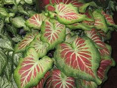 Caladium 'Starburst' might be a good choice to echo the white and maroon colors. I can tuck it in the shadier spots.