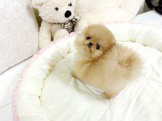 Nugget! - Teacup Pomeranian pomeranian spitz aleman cute tiny little small teacup breed dog puppy