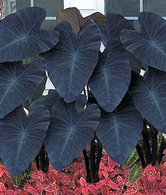 """Black Magic"" Elephant Ear with Coleus planted underneath Colocasia esculenta 'Fontanesii' ""Black Stem Elephant Ear - variety Tropical Garden, Elephant Ear Plant, Plants, Garden, Elephant Ears Garden, Shade Garden, Bulb Flowers, Black Garden, Garden Plants"