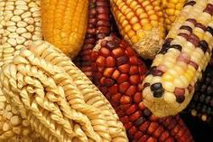 The second main food that the Native Americans relied on was corn.