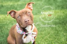 Tourmaline is a beautiful 1 year old Terrier/Pit Bull mix. She walks nicely on a leash and loves affection. She is a loving dog who loves to cuddle and wants a family of her very own. Come meet this calm and gentle lady at KCPP today!