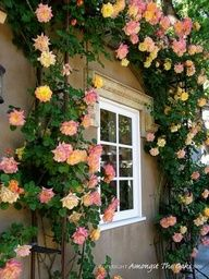 I want this rose bush! Its called Josephs Coat of Many Colors Hybrid Tea Rose. Most people know it as Josephs Coat It blooms pink, orange and yellow roses. My neighbor has one and Im JEALOUS! ;) I went to 4 nurserys looking for it. Apparently its hard to find!