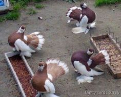 Two pairs of Volga Star Tail pigeons very rare