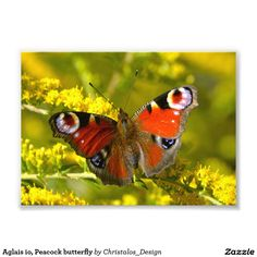 Aglais io, Peacock butterfly