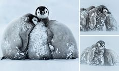 Baby penguins in Antarctica cuddle up together to survive icy blizzard. Four young emperor penguins, all aged about three months old, huddle together as they battle a storm in Antarctica. Take Shelter, Baby Penguins, Antarctica, Otters, Natural World, Animal Photography, Cuddling, Baby Animals, Cute Babies