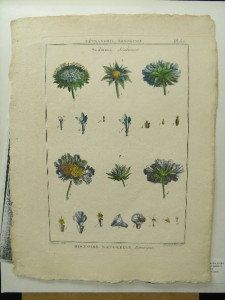 Lamarck Antique 1789 Botanical Print Copperplate by PeggysAntiques, $57.50