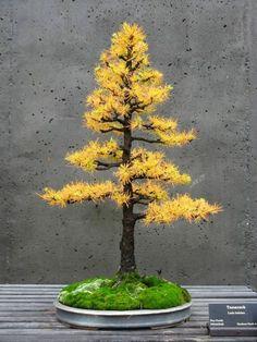 Tamarack Bonsai Baum mit gelben Herbstblättern Bonsai Arten