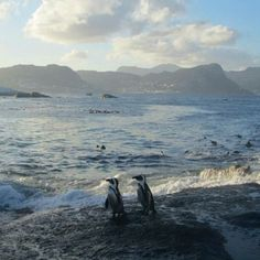 Boulder Beach penguins enjoying the view (and no doubt preparing for World Penguin Day tomorrow!) by IG user @CamWebber