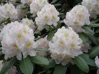 Rhodedendron - white