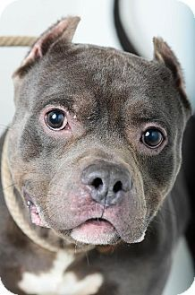 American Pit Bull Terrier Mix Dog for adoption in Edina, Minnesota - Seal D150121