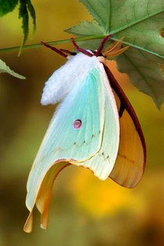 Freshly emerged American Luna Moth - title Hanging Out to Dry - by Bob Jensen