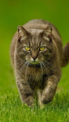 Gorgeous cat ( The purposeful stride shouts 'Man on a mission - let me through ,I'm late , I'm late for a very important date , I'm late ,I'm late , I'm late !! )