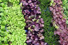 We'll show you how to grow microgreens with step by step instructions for growing microgreens indoors or outdoors depending on the time of year.  Plus, a list of seed sprouting possiblities.