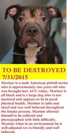 SHOT TO DEATH DUE LUNGING AFTER FOSTER --- SAFE 8-3-2015 by Rescue Dogs Rock NYC --- TO BE DESTROYED 31/7/2015 Brooklyn Center-P  My name is MARINER. My Animal ID # is A1044585. I am a male black am pit bull ter. The shelter thinks I am about 1 YEAR  I came in the shelter as a STRAY on 07/18/2015 from NY 11233, owner surrender reason stated was BITEPEOPLE. http://nycdogs.urgentpodr.org/mariner-a1044585/
