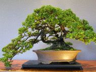 """Bonsai for Beginners."" A great blog for learning how to make a bonsai."