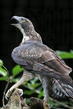 Hodgson's Hawk-eagle... Check out those talons..