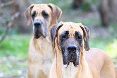 Dog niemiecki to szlachetny olbrzym.