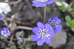 Leverbloempje / Hepatica nobilis