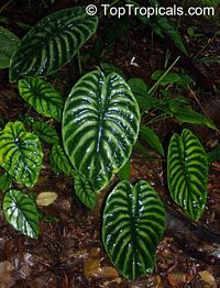 On The Net Landscape Design And Style - The New On-line Tool That Designers Are Flocking To For Landscape Designs Alocasia Cuprea Tropical Garden, Tropical Plants, Elephant Ear Plant, Elephant Ears, Back Gardens, Outdoor Gardens, Alocasia Plant, Exotic Plants, Plant Decor