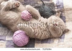 stock-photo-sleeping-kitten-rare-color-lilac-71376364.jpg (450×320)