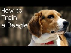 How to Train a Beagle - Things to Know Before Starting Beagle Training - YouTube