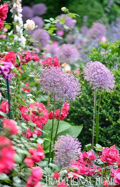 Beds in this garden include eye-catching purple alliums and an abundance of roses. - Photo: Matthew Benson