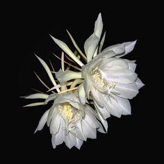White Cactus | Mariella | Flickr