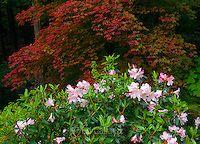 Azalea Bloom, Japanese Maple, Fern Canyon Garden, Mill Valley, California Japanese Maple, Garden Beds, Fern, Bloom, Plants, Photography, Travel, Image, Viajes