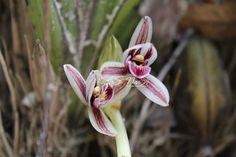 Cymbidium aloifolium