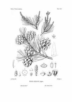 95528 Pinus edulis Engelm. / Sargent, C.S., The Silva of North America, vol. 11: t. 552 (1898) [C.E. Faxon]