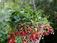 Follow these steps from HGTV Gardens to plant and grow strawberries in beautiful hanging baskets.