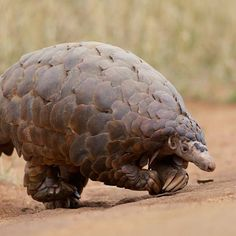 "Pangolin.      [""Did you know that many #Pokemon are based on real animals? Sandshrew is based on Pangolin, a scaly mammal native to parts of Africa and Asia. Unfortunately, PANGOLINS ARE THE MOST ILLEGALLY TRADED ANIMALS IN THE WORLD. They are also hunted for their meat and scales. (David Brossard: Creative Commons) #PokemonGo.""]"