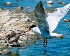 Baby tern feeding   by jonasflanken