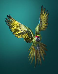 Endangered - Tim Flach Military Macaw