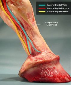 Digital Pulse Vein, Artery, Nerve