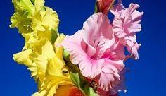 Mieczyk ogrodowy (Gladiolus hybridus)
