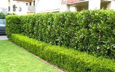 Hedging Plants, Privacy Plants, Landscaping Plants, Outdoor Landscaping, Buxus, Landscaping Ideas, Garden Hedges, Garden Edging, Back Gardens