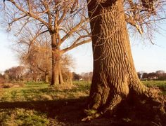 #285 Canadapopulier #PopulusXCanadensis is de hybride van Zwarte en Amerikaanse Populier (P. nigra & P. deltoides). Canadapopulier wordt in Gelderland veel aangeplant langs wegen en in bossen op natte zeer voedselrijke grond. De dikste Canadapopulier staat bij @HuisBingerden in Angerlo (gemeente #Zevenaar) langs de IJssel: Omtrek 8m, hoogte 35 m. (ca. 115 jaar oud). Zondag 24 augustus 2014. Via twitter @Zevenaar_flora.