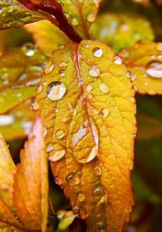 water droplets on Fall Leaves Autumn Rain, Autumn Leaves, Golden Leaves, Dew Drops, Rain Drops, Fotografia Macro, Morning Dew, Water Droplets, Autumn Garden