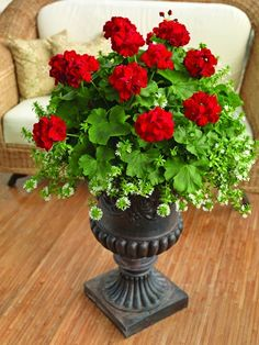 Red geraniums in a black urn planter. Who says they need to be real geraniums? we have awesome real looking artificial geraniums. I've used them in my porch planters and no one have could tell that they were not real. Geranium Planters, Flower Planters, Flower Vases, Flower Pots, Fall Planters, Container Flowers, Container Plants, Container Gardening, Vegetable Gardening