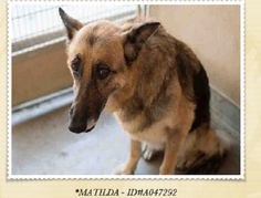 Matilda  Judging by the intake photo, the senior dog is clearly confused and saddened over her sudden change of life circumstance. The details about the loss of her prior home are unknown - all that is important at this point in time is for this gorgeous senior to secure a new, safe place to go.