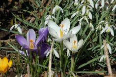 """Vying for the honor of """"first bulb plant to bloom in spring"""": it was a tie between my crocuses (http://landscaping.about.com/od/floweringbulbs/p/crocus_bulbs.-9cU.htm) and snowdrops (http://landscaping.about.com/od/perennialflowers/p/snowdrops.htm). They both opened for the first time on March 31 in my New England garden after the LONG winter!"""
